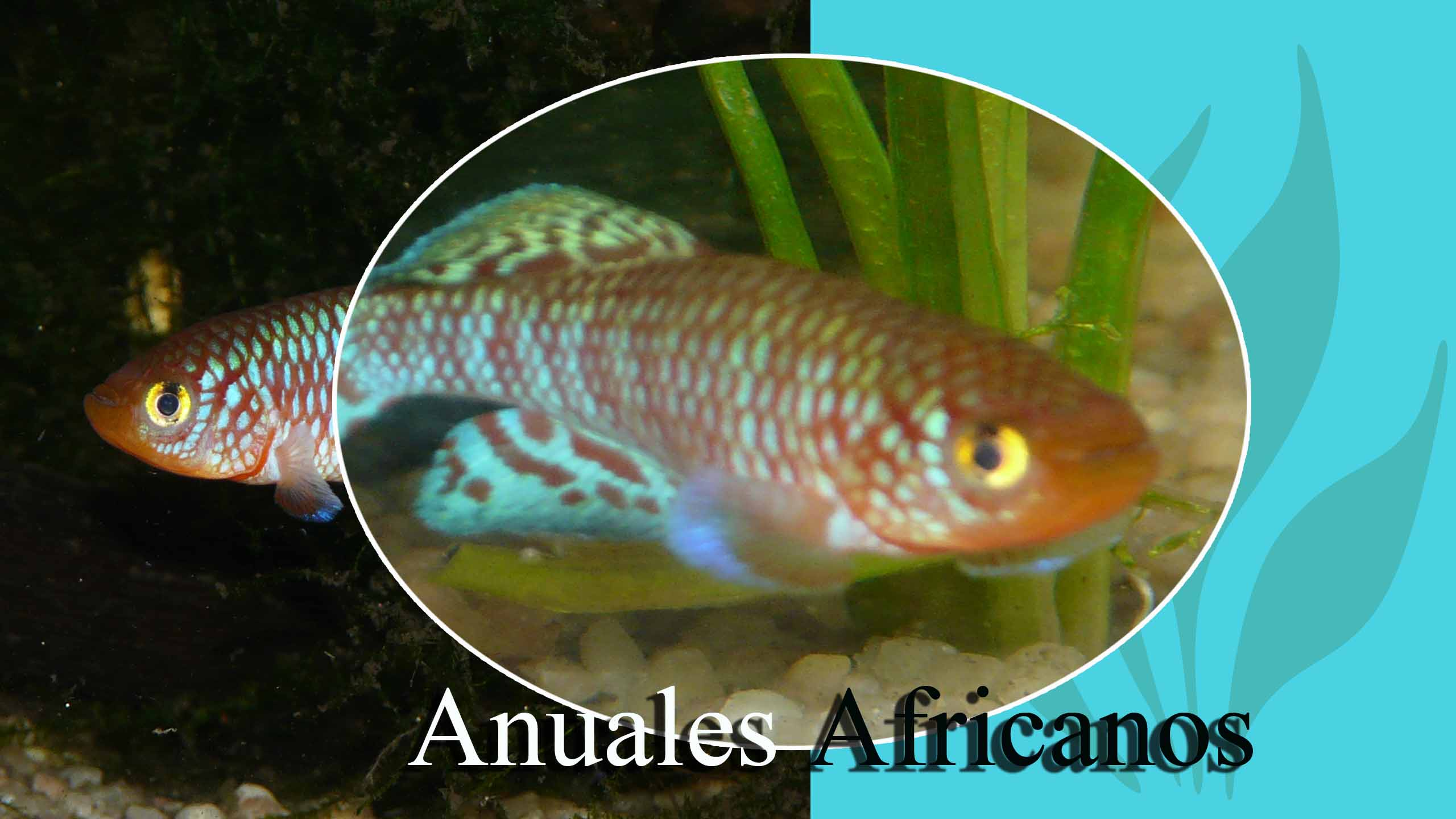 anuales africanos