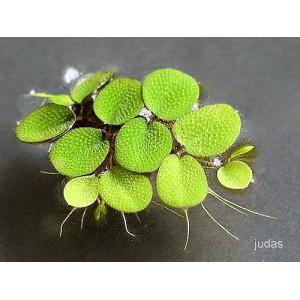 Salvinia  auriculata