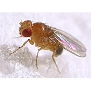 Mosca drosophila (alas atrofiadas)